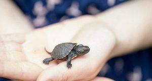 Cucciolo di tartaruga (Foto Pixabay)
