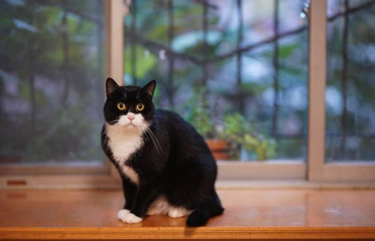 gatto bicolore o tuxedo
