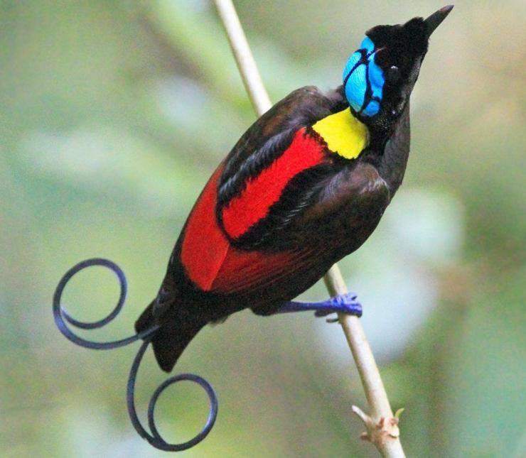 uccello del paradiso di wilson pinterest