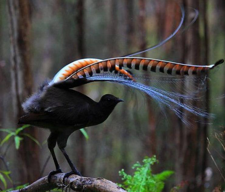 uccello lira uccelli con la coda più bella