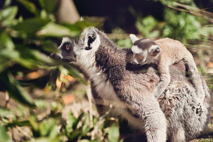 Cose più strane sui lemuri