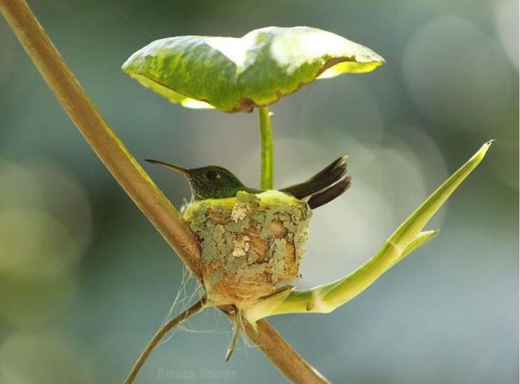 nido colibrì