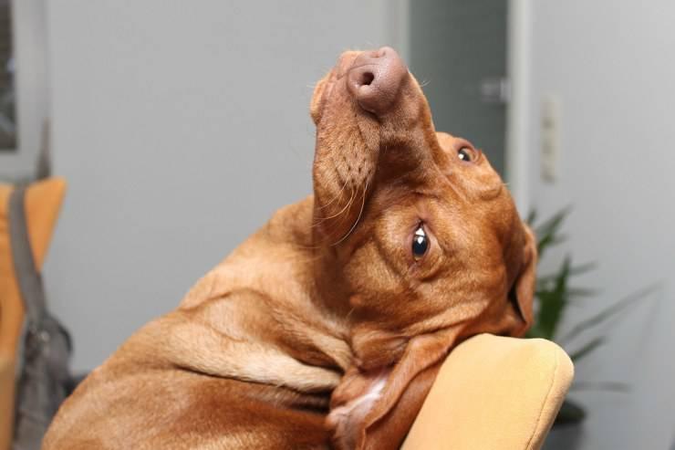 Razze di cani che non puzzano: Viszla