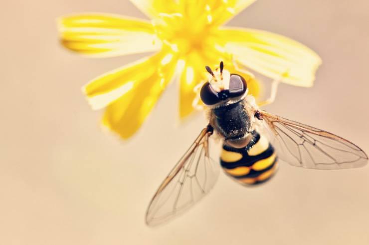 Il colore di api e vespe è diverso