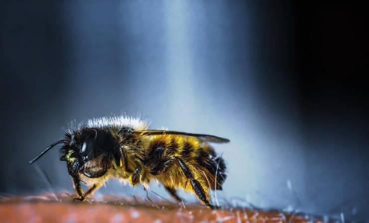 ape pelosa insetto