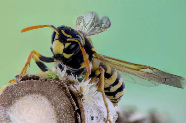 La vespa è un insetto carnivoro