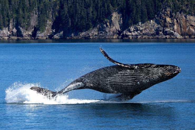 La balena spruzza acqua