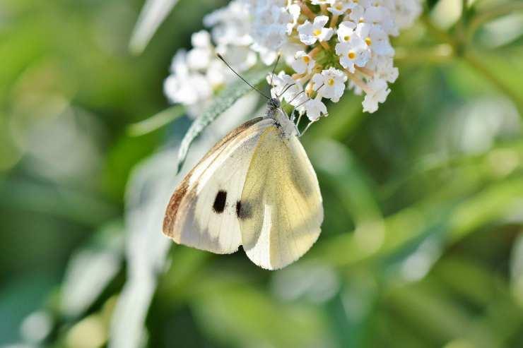 La farfalla sul fiore (Foto Pixabay)