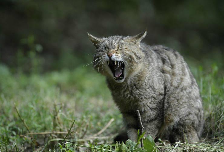 Il gatto ha perso i denti