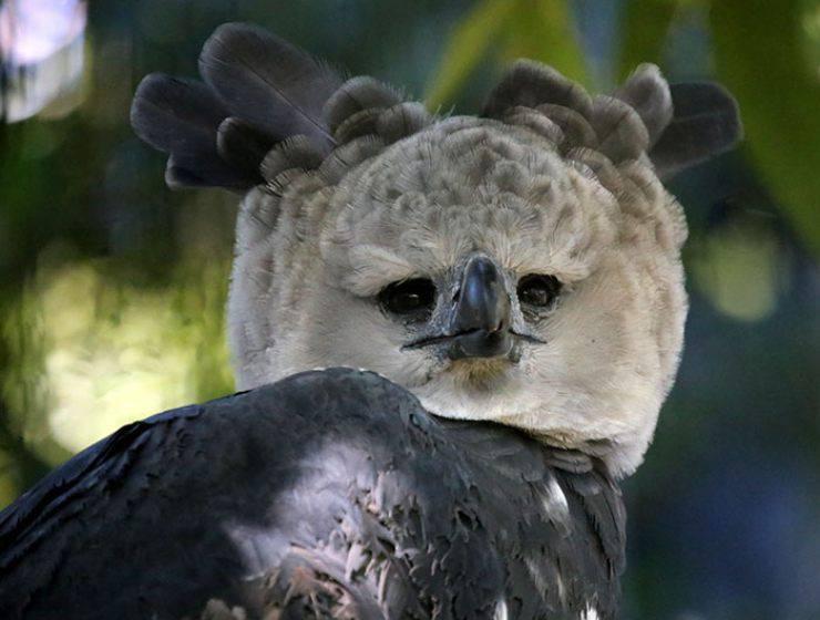 aquila arpia uccello rapace