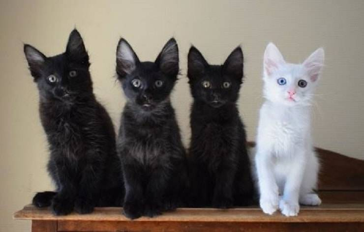 gatti neri e bianchi