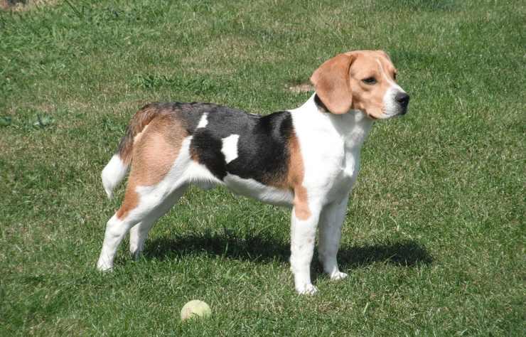 Restituisce cane adozione motivo