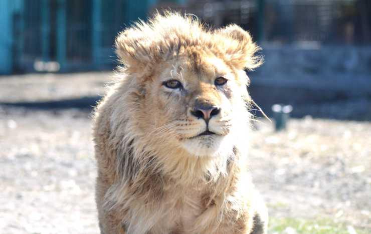 Il leoncino in buona salute (Foto Facebook)