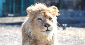 Il leone Simba in forma (Foto Facebook)