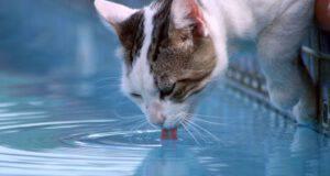 Intossicazione da acqua nel gatto: come riconoscerla e intervenire
