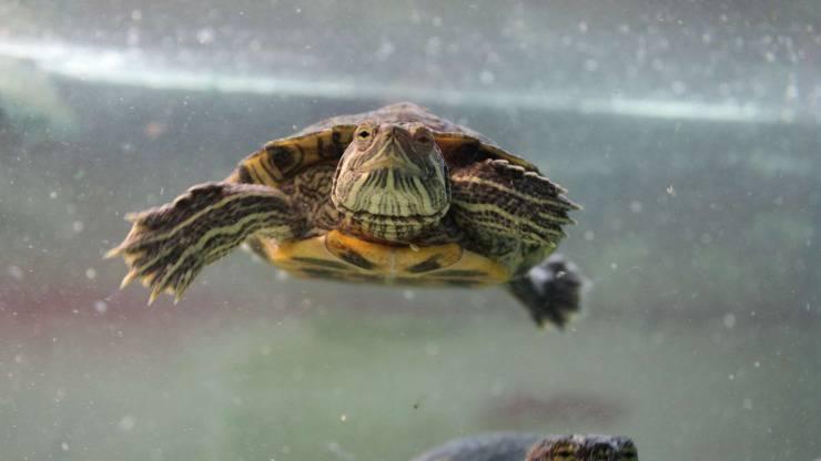 Malattie della tartaruga acquatica: le più comuni (Foto Pinterest)