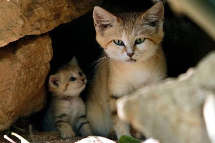 curiosità sui gatti delle sabbie