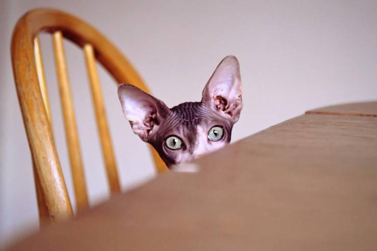 Prima di adottare uno Sphynx: quello che c'è da sapere su questo gatto