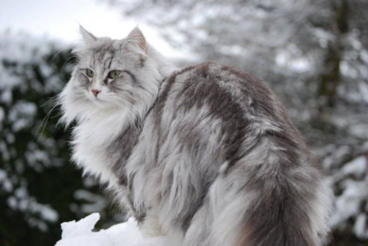 razze gatti più grandi