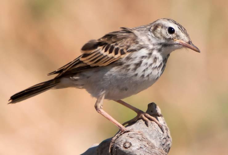 zampe uccelli passeriformi