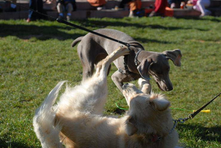 Come dividere cani che litigano (Foto Flickr)