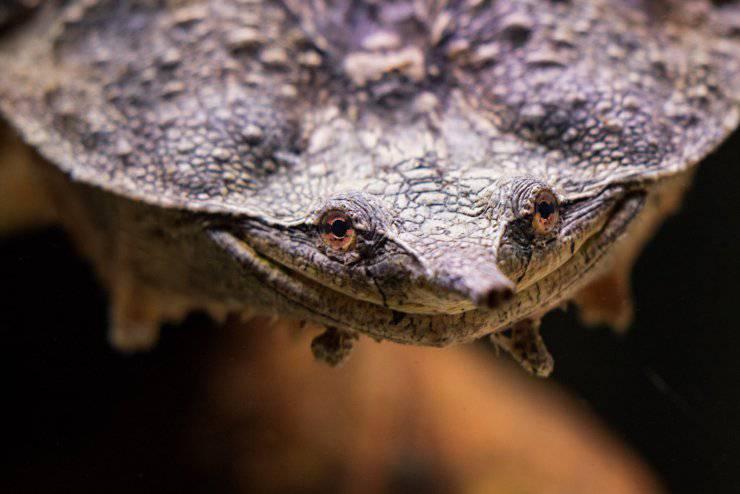 tartaruga mata mata