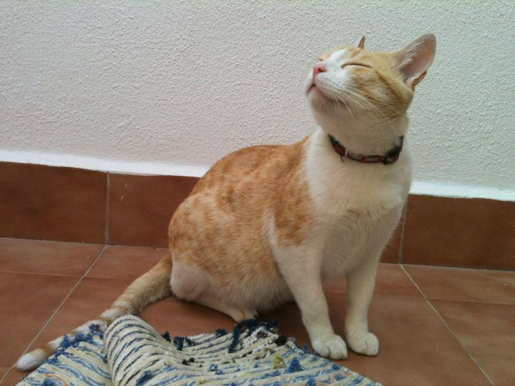 gatto può donare sangue regole seguire