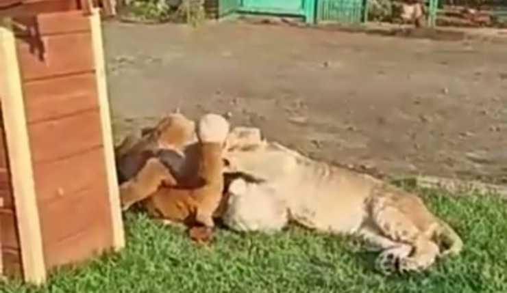 Il leone che gioca sereno (Foto Facebook)