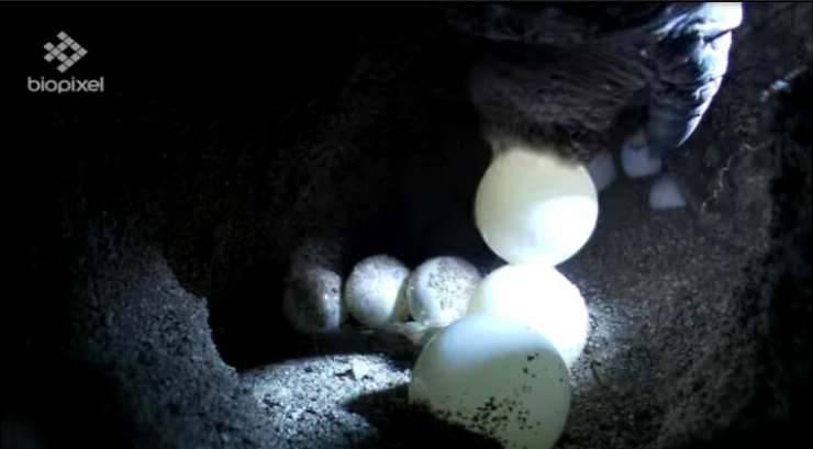 Le uova deposte (Foto video)