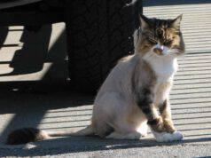 Perchè non si dovrebbe tosare il gatto d'estate: pro e contro