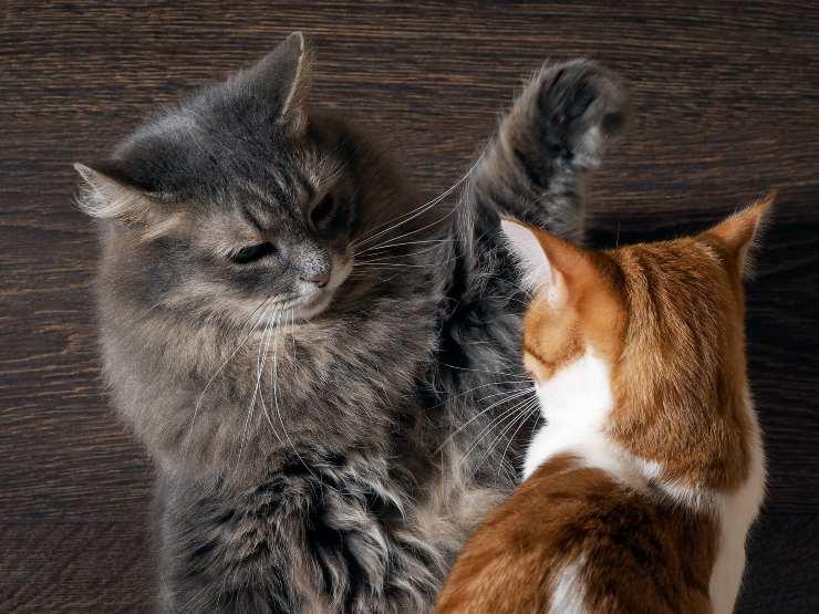 gatti stressati litigano