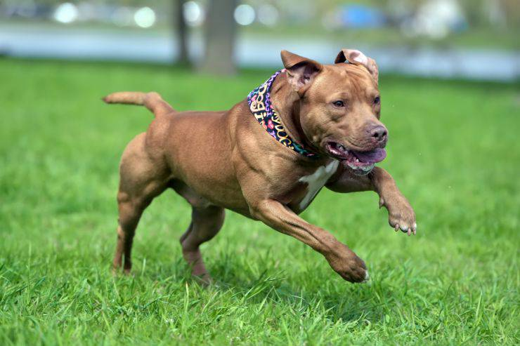 Cani simili al Pit bull
