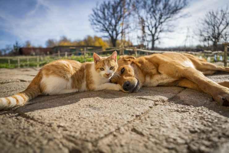 L'amicizia cane e gatto (Foto Adobestock)