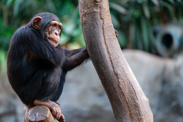 Fatti sullo scimpanzé