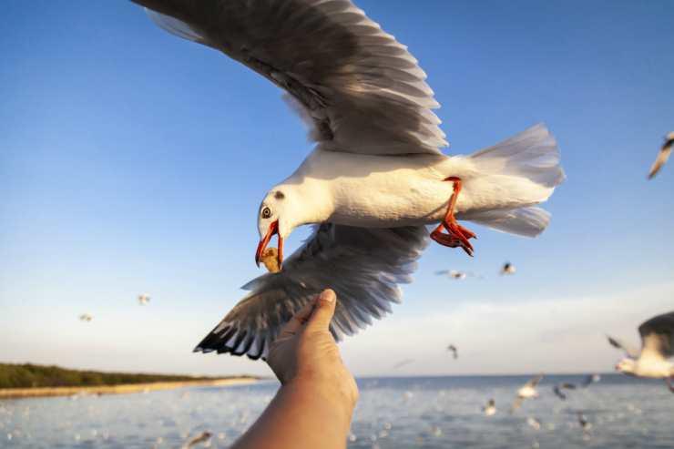 Un gabbiano in volo (Foto Adobestock)