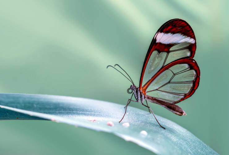 Farfalla di vetro (Foto Adobestock)