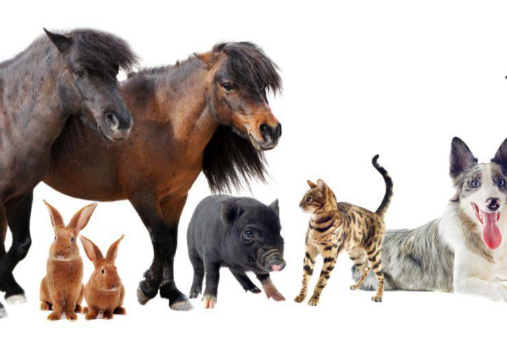 icarus vita animali