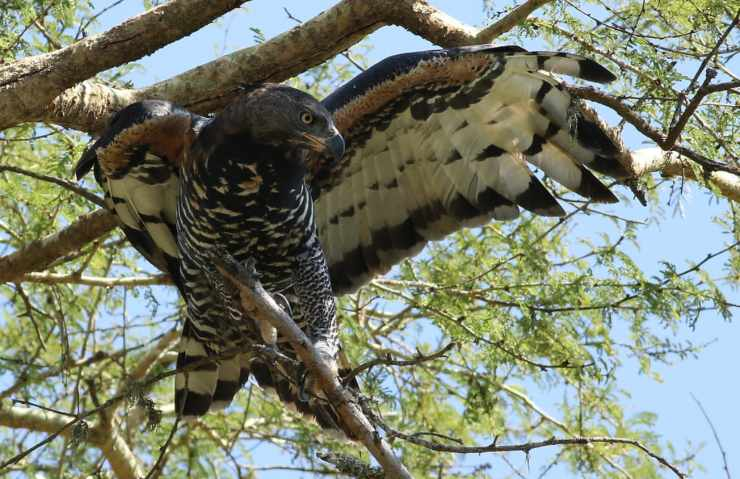 Gli uccelli più forti del mondo: aquila coronata