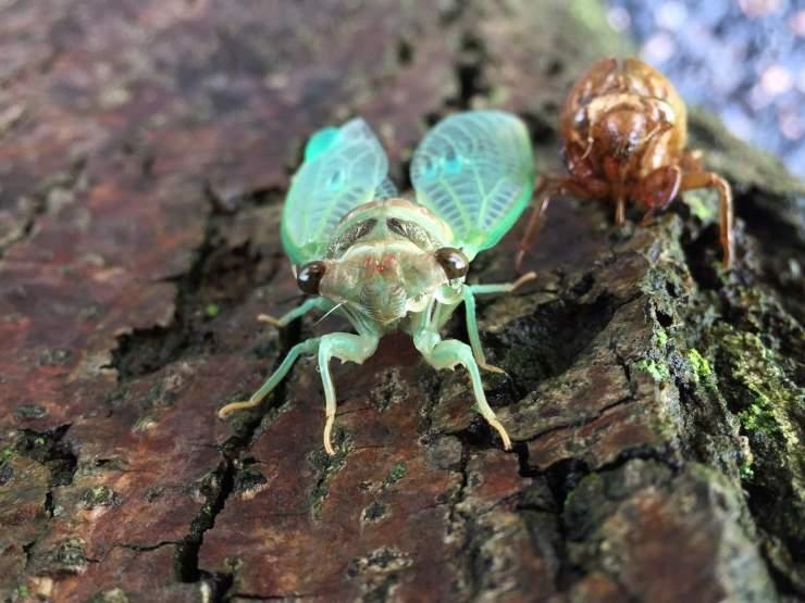 cicala insetto scheletro muta