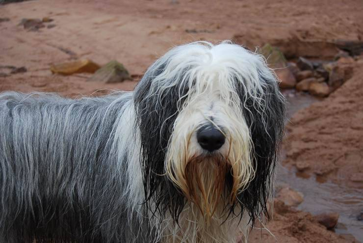 Bearded Collie Pinterest
