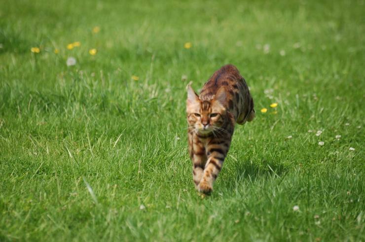 Razze di gatti meno conosciute: bengala