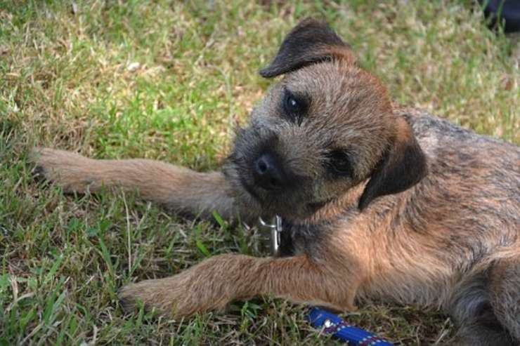 Adottare un Border Terrier