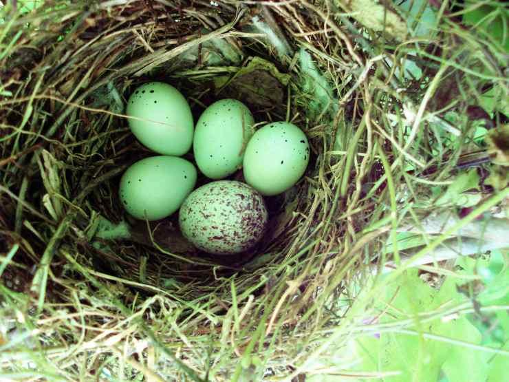 uovo cuculo in nido molotro
