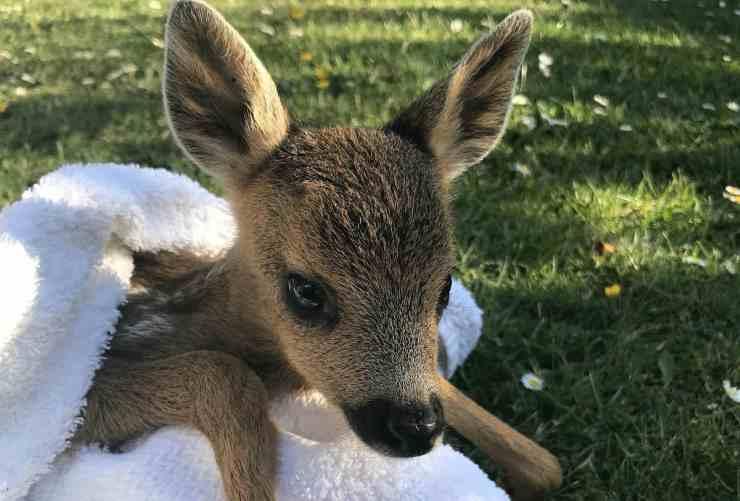 La cucciola di cerbiatta (Foto Twitter)