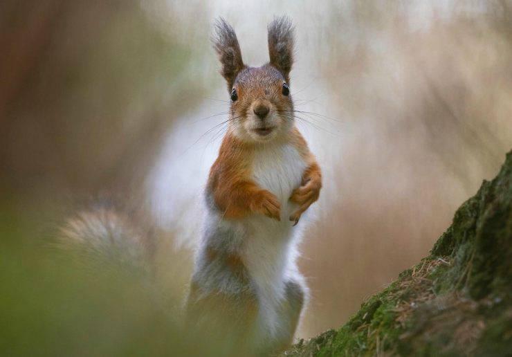 La scoiattolina Remy (Foto Twitter)