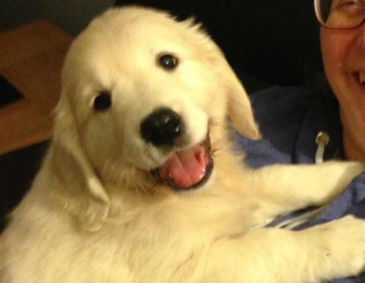 Il Golden cucciolo (Foto Twitter)