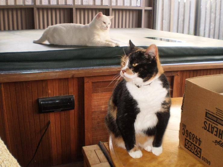 Il gatto è un bullo: come risolvere questo problema comportamentale
