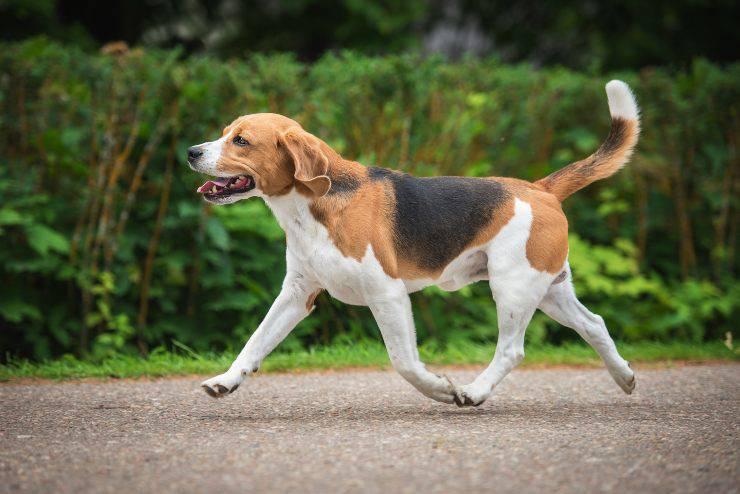 Foxhound adulto