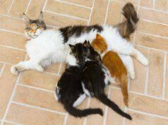 Allattamento della gatta