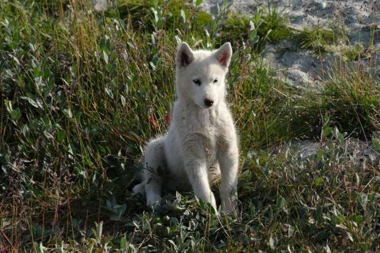 Groenlandese cucciolo